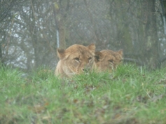 Knowsley-Safari-Park6