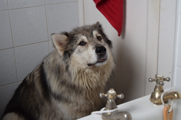 husky dog waits for bath