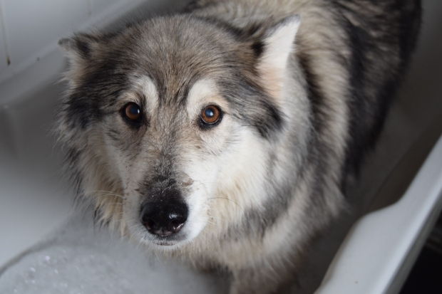 husky dog siberian